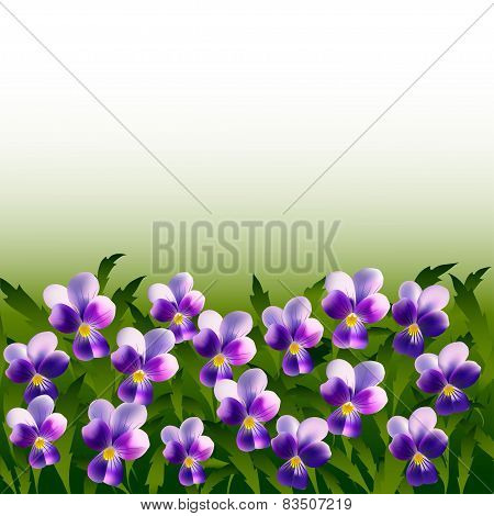 A Lot Of Violet Pansy Flowers On Background Of Leaves
