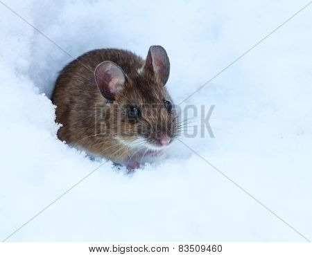 Shy Wood Mouse On Snow