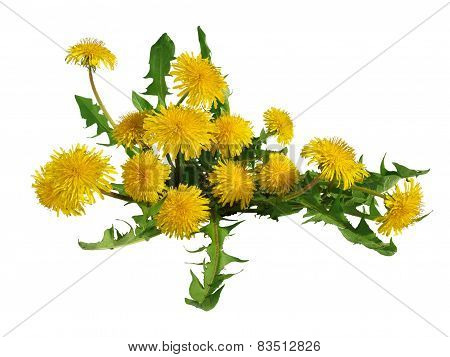 Dandelion flowers bush isolated.