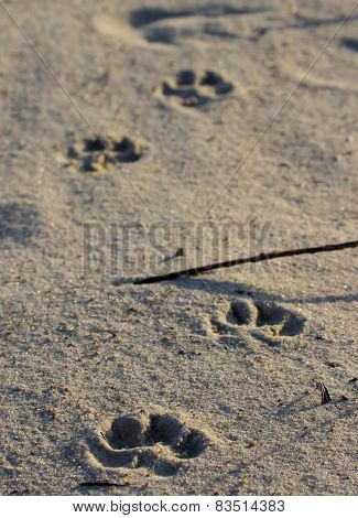 Pugmarks Of An Dog In The Beach Sand.