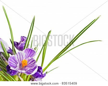 Beautiful Spring Crocus