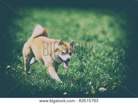 Vintage Photo Of Dog Shiba Inu On Grass
