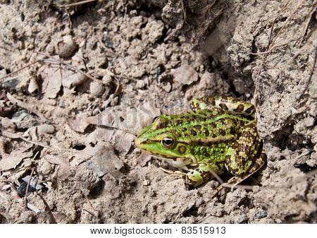 A Big Frog