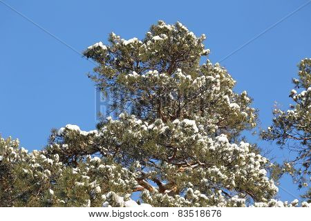 Snow On The Branches Of Pine Trees
