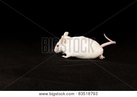 White mouse on black fabric