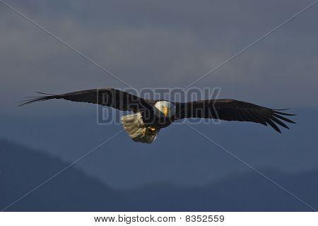 Amercian Bald Eagle