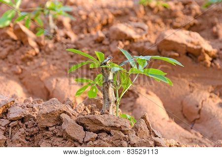 Cassava Tree.