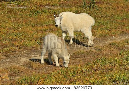 Mountain Goat Mother And Kid, Glacier National Park