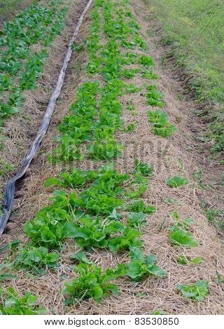 Organic of vegetable plots cultivation in farm