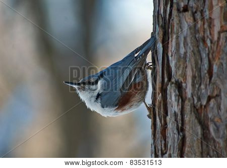 Wild Bird Nuthatch On The Background Of A Winter Forest.