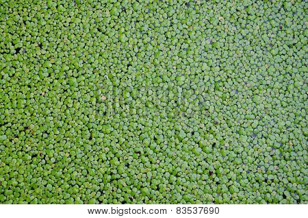 Duckweed Covered On The Water Surface For Background.