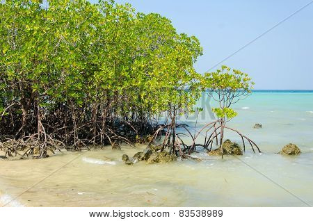 Mangrove Trees And Roots On The Beach.