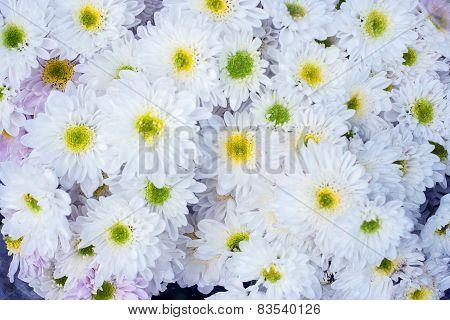 Beautiful Blossom Marigold Flower.