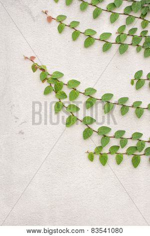 Ficus Pumila Leaves Wall Background.
