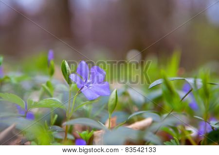 Vinca Minor Or Periwinkle Flower In Spring
