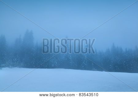 Coniferous Forest In Dense Winter Fog