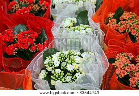 White And Red Flowers For Sale In The Greenhouse