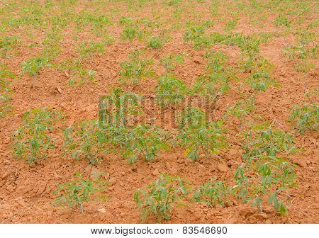 Row Of Cassava Tree In Field.
