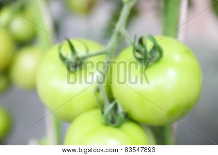 Blurry Defocused Tomato In Organic Farm
