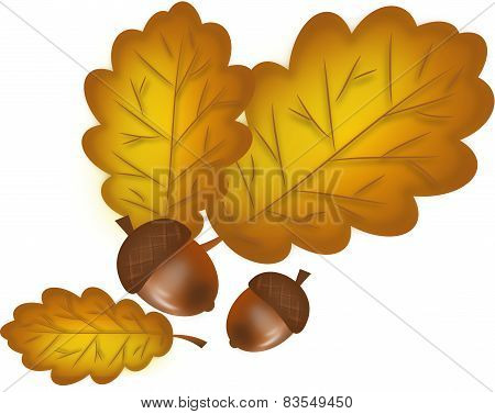 Oak Tree Leaves With Acorns