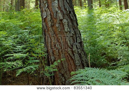 Trunk of a pine tree