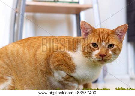 Eye Level Orange And White Cat