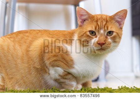 Ginger And White Cat Looking At Viewer