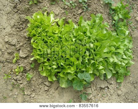Young Salad