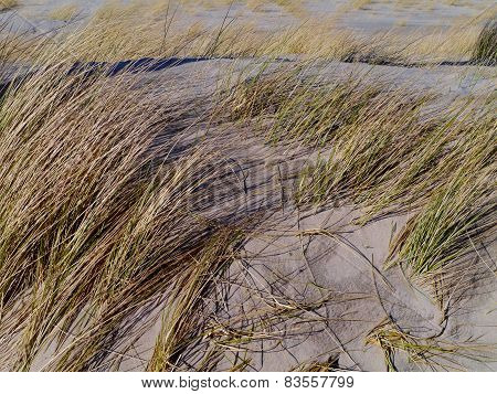 Maram grass in the Dutch dunes