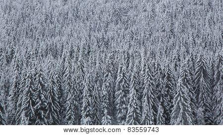 Snowy Pines - Stock Photo