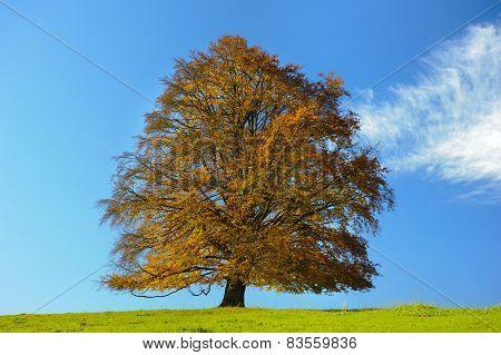 big single beech tree