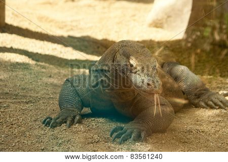 Komodo Dragon Close Up