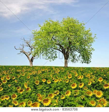 sunflower field and trees