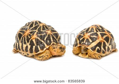Two Indian Starred Tortoise