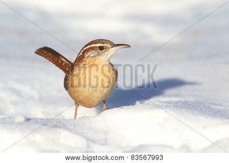 Carolina Wren In Winter