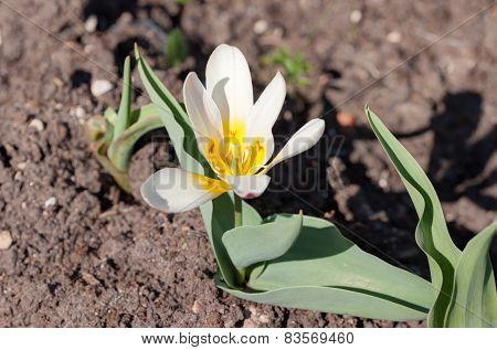 White Tulip In The Spring