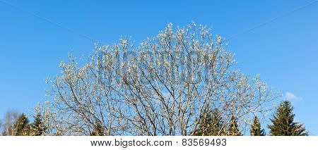 Crown Blooming Willow
