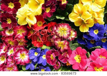 Colorful Bouquets Primrose