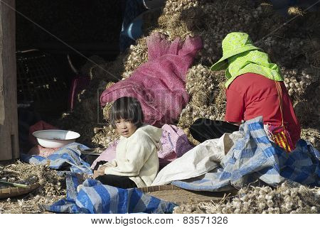 People of Lisu ethnic group sort garlic in Chiang Mai, Thailand.