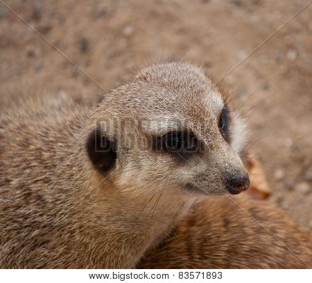 Head Of Curious Meercat