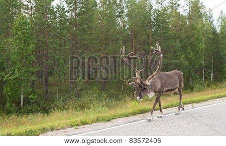 Caribou Walking On Street
