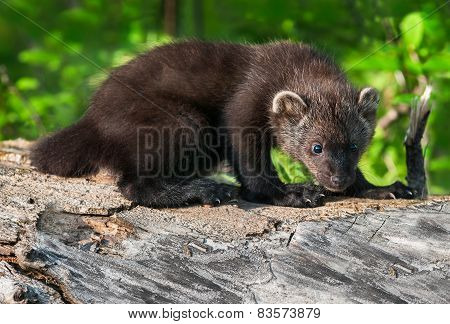 Young Fisher (martes Pennanti) Hunches On Log