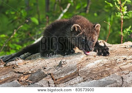 Young Fisher (martes Pennanti) Climbs Over Log