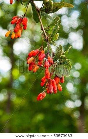 Ripe Berries Of Barberry