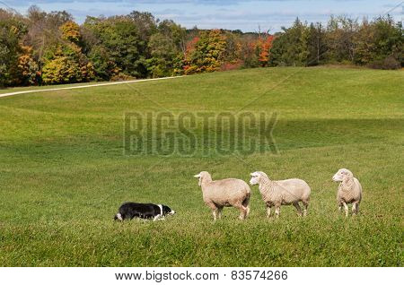 Stock Dog (border Collie) And Sheep (ovis Aries) Standoff