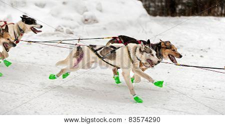 Sled Dog Team Flies By