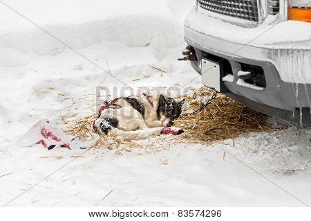 Harnessed Sled Dog Sleeps Near Truck