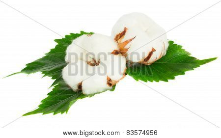 Two cotton plant buds