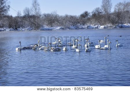 Swans and ducks.