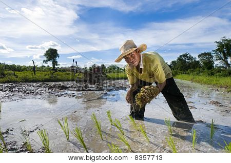 Asian Rice Farmer